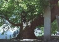Çatalca Anıt Ağaçlar