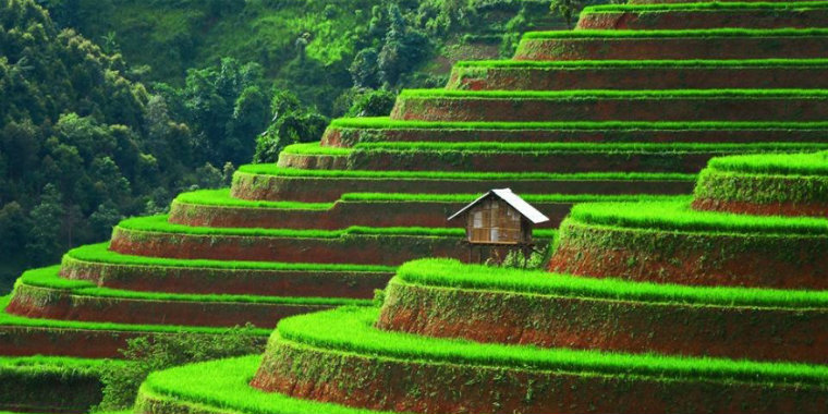 Vietnamda pirinç terasları