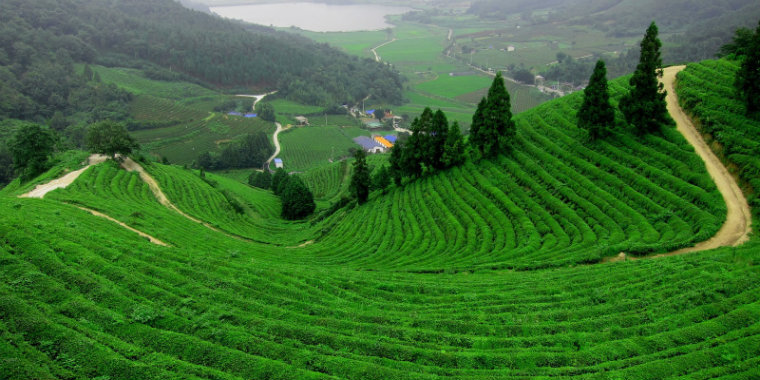 rize_cay